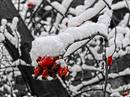 rosehip in snow