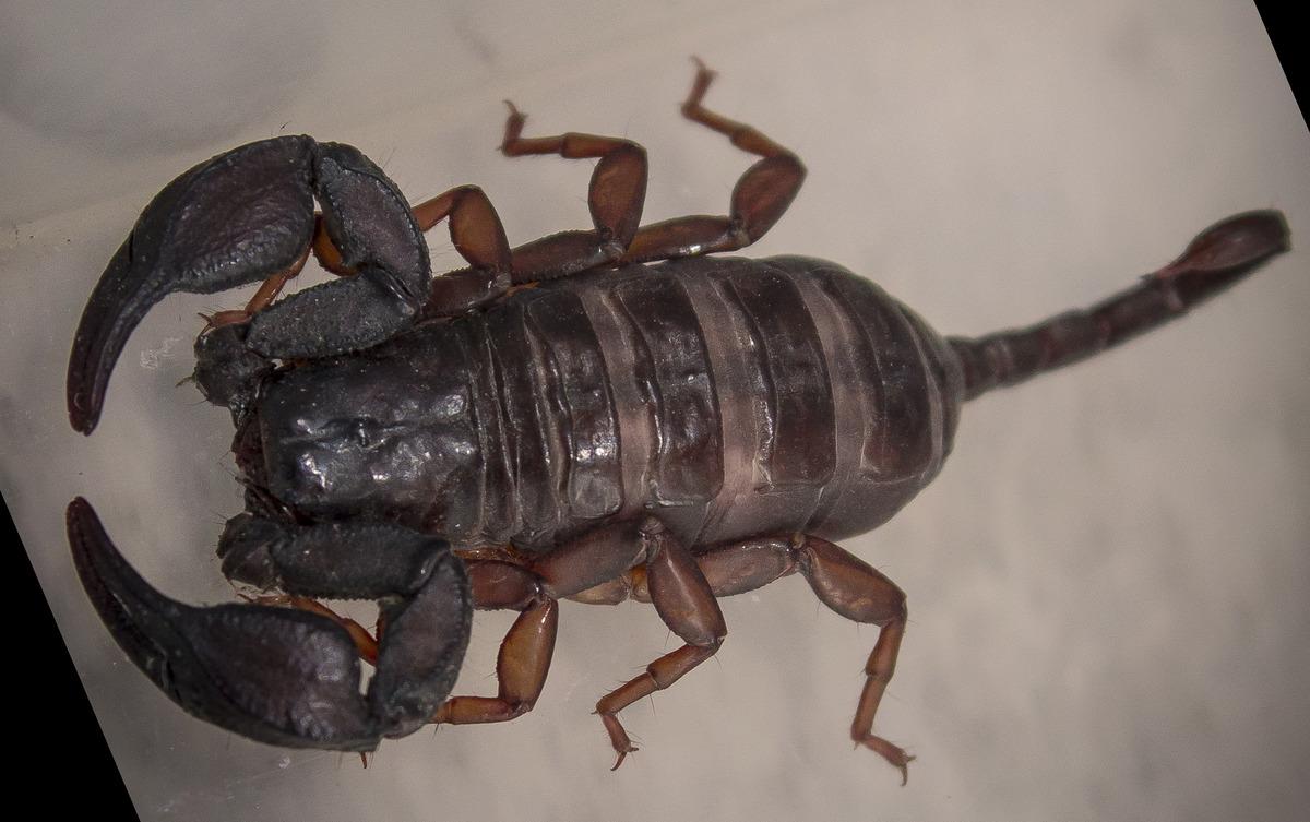Skorpion Kroatien